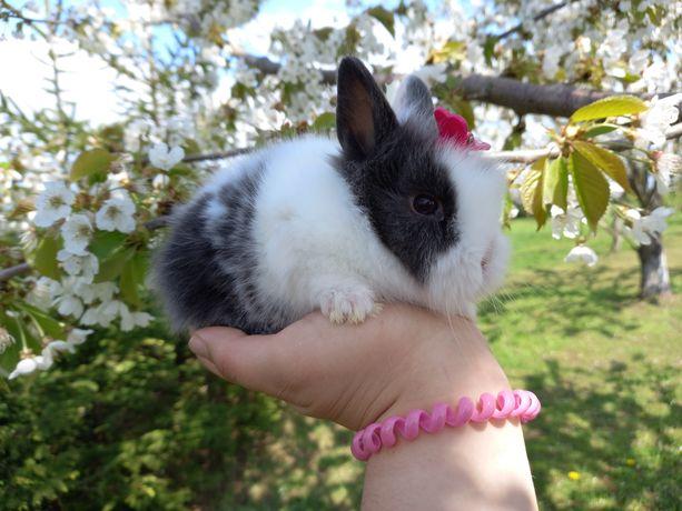 E3 GRAFITOWY teddy karzełek króliczek królik miniaturka malutki WYPRAW