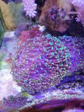 Zwierzęta morskie Rhodactis