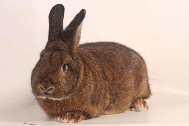 Królik Wiedeński szary króliki
