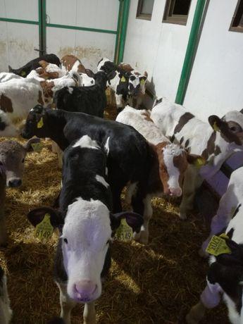 Byczki i jałowki mięsne Nowe Miasto i okolice