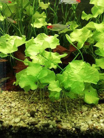 Lotos Tajwan z mojego akwarium