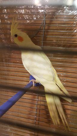 попугай корелла самець з клі ткою