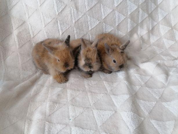 Sprzedam króliczki miniaturki