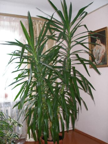Юкка (Yucca) — чудова декоративна рослина