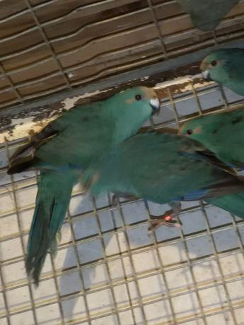 Синие какарики