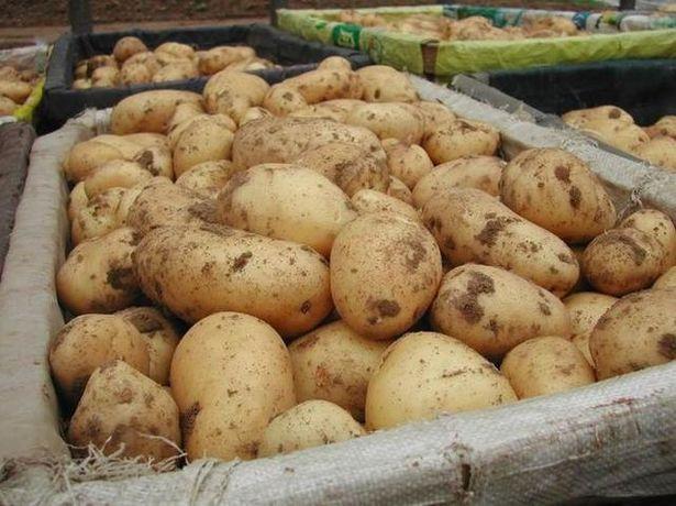 Продам картошку в Сквире