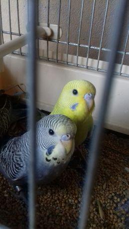 Papugi faliste,inne egzotyczne