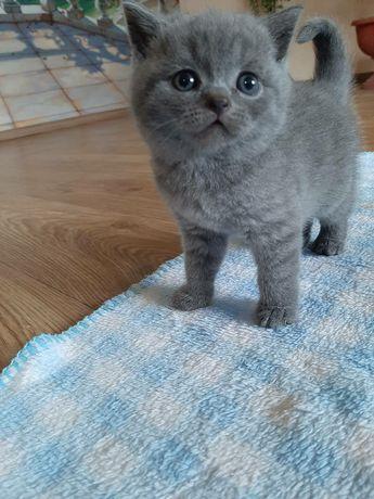 шотландские голубые плюшевые котята.Одесса