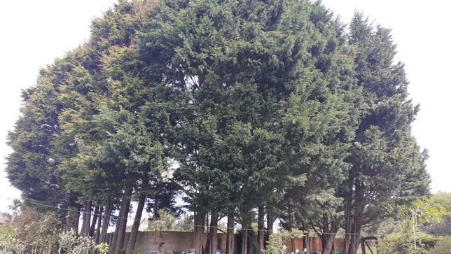 Cupressus / ciprestes leylandii para sebes/vedação 10 metros