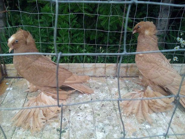 Turkoty żółte - gołębie ozdobne
