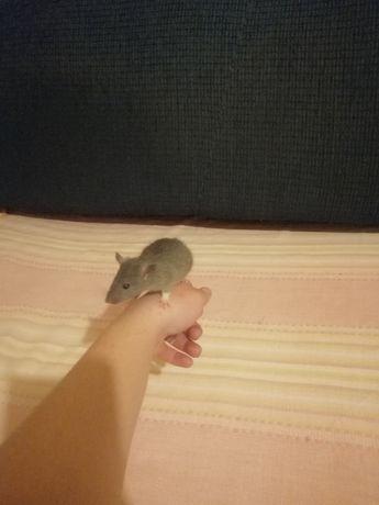 Szczurki domowe standard