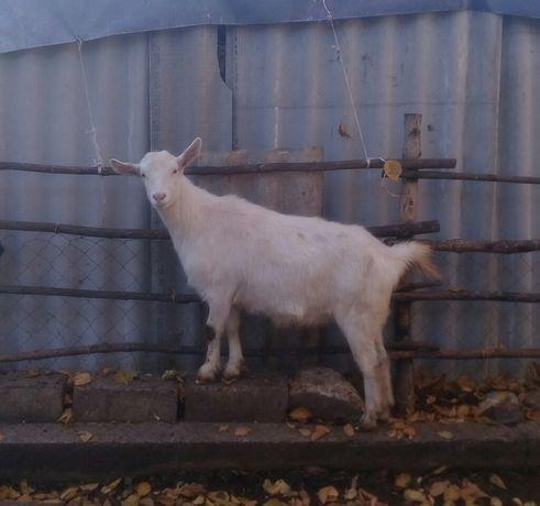 Зааненская коза.