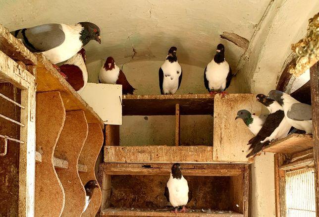 Gołębie ozdobne różne rasy : strasser, Skowronek, Gil, Garłacz siodłat