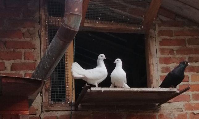 Gołębie ozdobne, różne kolory typowo podwórkowe pawiki i mieszance