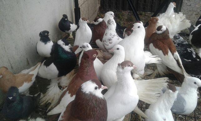 Gołębie ozdobne ptaki różne rasy