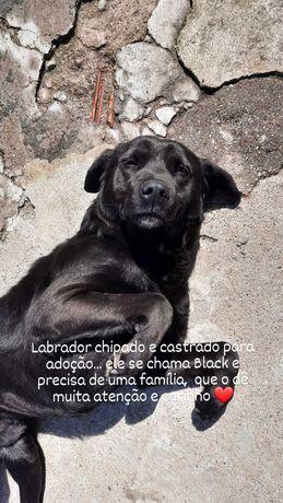 Doasse labrador black