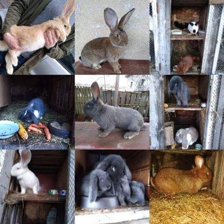 Hodowla królików Rasowych!Wszystkie Rasy!Samce/Samice/Młode/Dorosłe!!