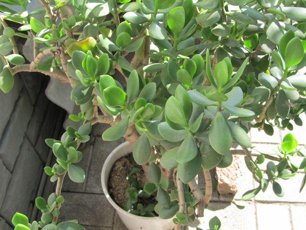 цветок Толстянка=денежное дерево