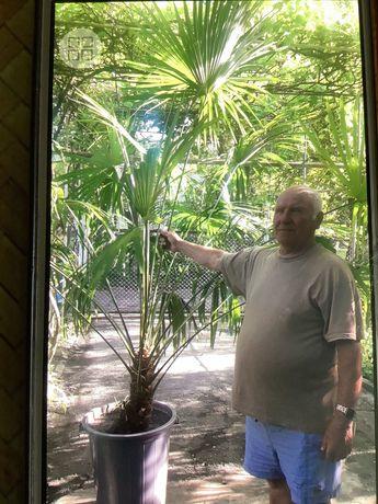 Пальмы Вшингтония