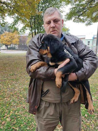 Продается алиментный щенок ротвейлера