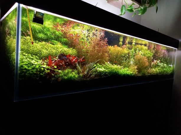 Rośliny z przycinki, pogostemon yatabenus, rotala narrow leaf itd