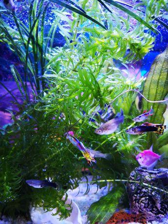 Moczarka argentynska 15szt (tagi: akwarium, rośliny, filtr, rybki)