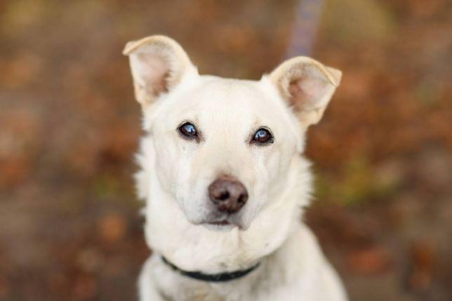 Pies Biały szuka domu