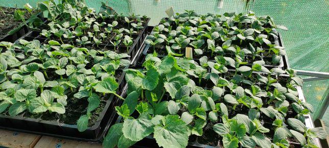 Rozsady sadzonki Ogórek Cukinia Pomidor Kapusta Papryka Arbuz Koper