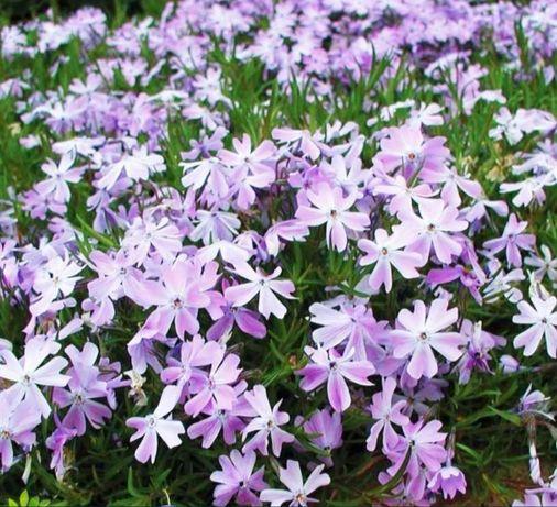 Флокс шиловидный альпийская горка почвопокровный , гвоздика садовая