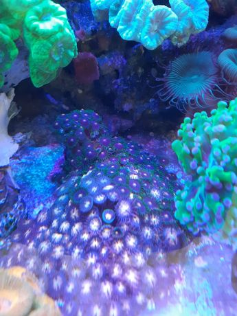 Koralowce Zoa...