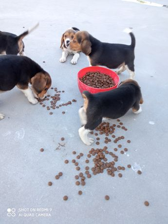 Beagle raça pura