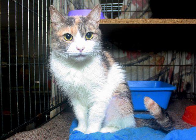 Трехцветная кошечка Селена 1 годик кошка кішка кицька