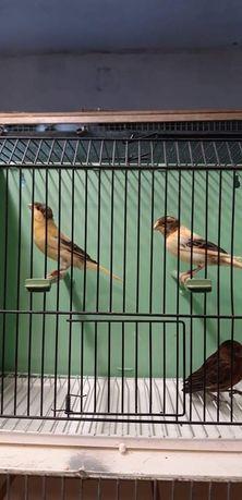 Kanarki,kanarek samce i samice
