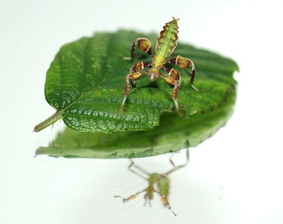 Liściec Jesienny Phyllium philippincium