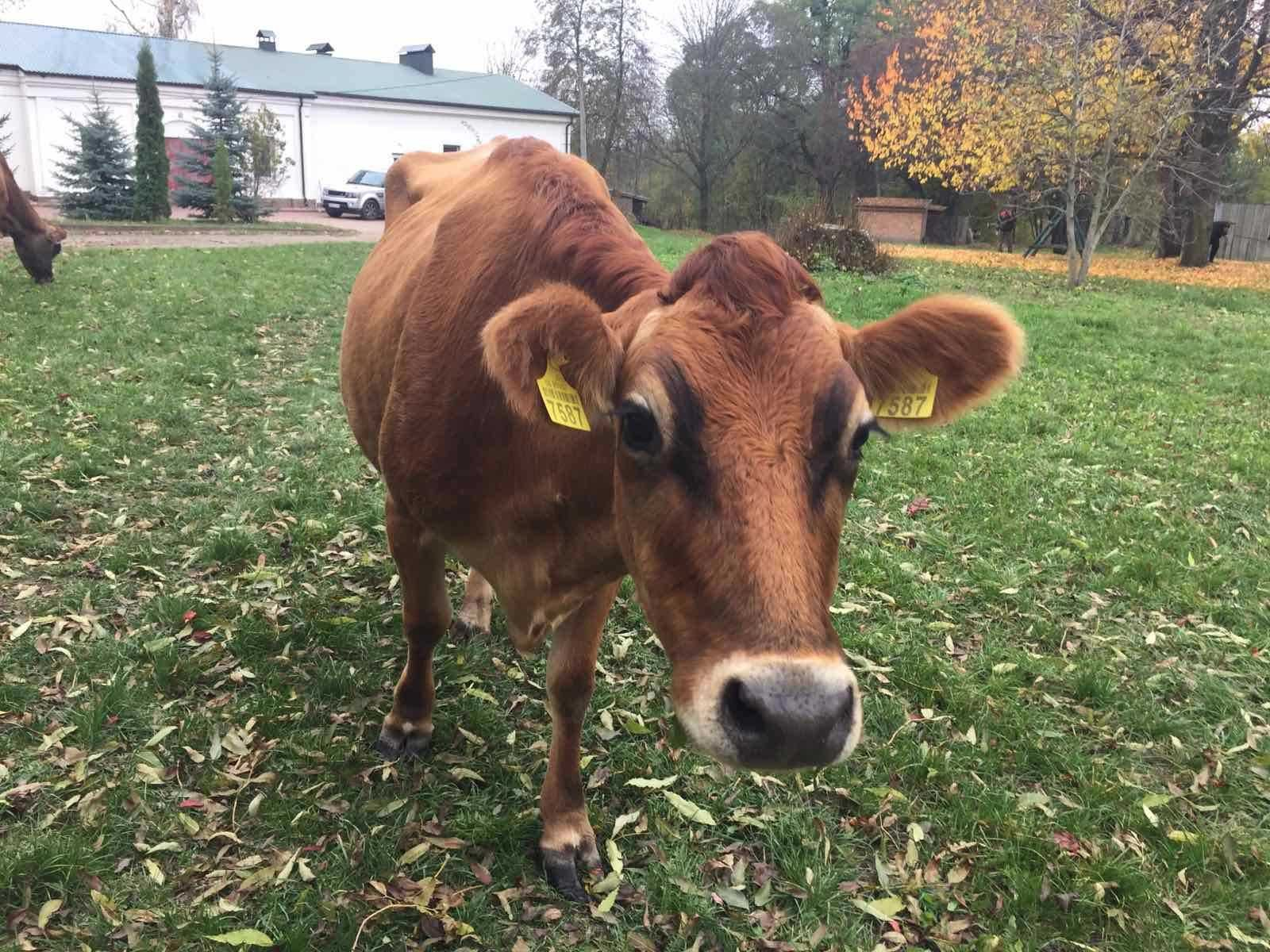 Продам корову, нетелей, телят.