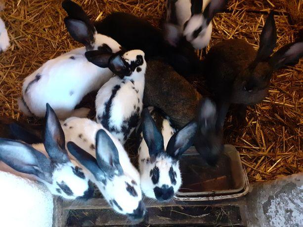 Sprzedam króliki samiec samiczka,  małe i duże