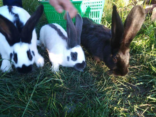 Кролики строкачи