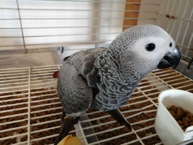Papagaio Cinzento - 1 papa /dia