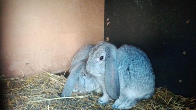 Francuski Baran Szynszylowy - młode króliki