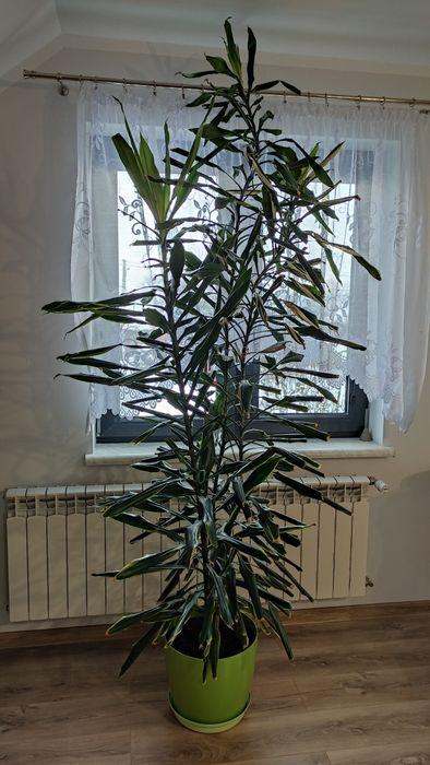 Dracena, 3 łodygi, 220 cm, gęsta Lubawa - image 1