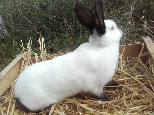 Młoda samiczka kalifornijska czarna 6miesięcy