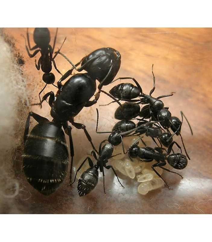 Муравьи Camponotus vagus (Черный муравей-древоточец)