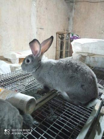 Кролики Рекс шиншилла
