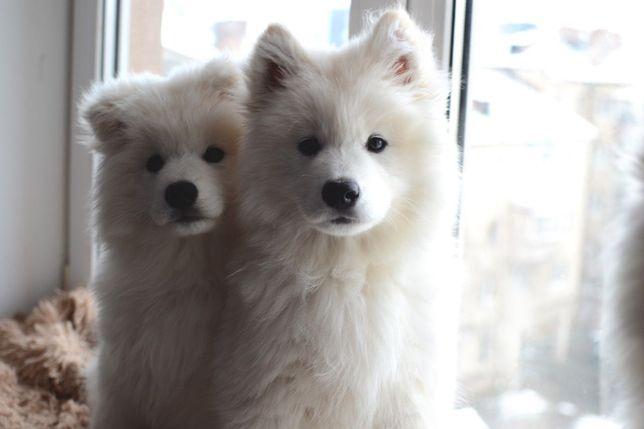 Залишилося 2 щенят самоїда | З документами WKU