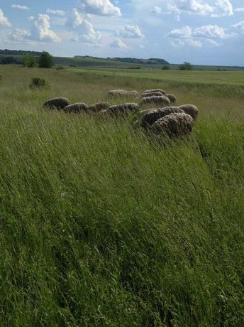 Овцы вівці Мериноси і Романовці.Баранина на мясо
