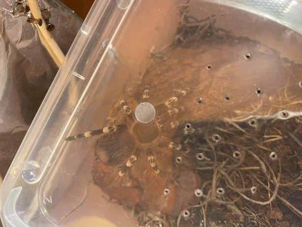 Acanthoscurria Geniculata 3DC