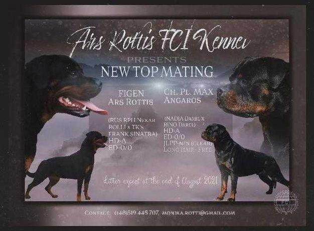 Rottweiler szczenięta ZKwP /FCI - rezerwacja