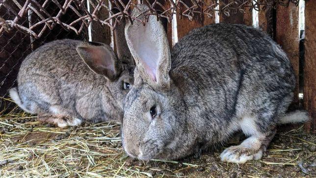 Кролики породи Фландер та Панон
