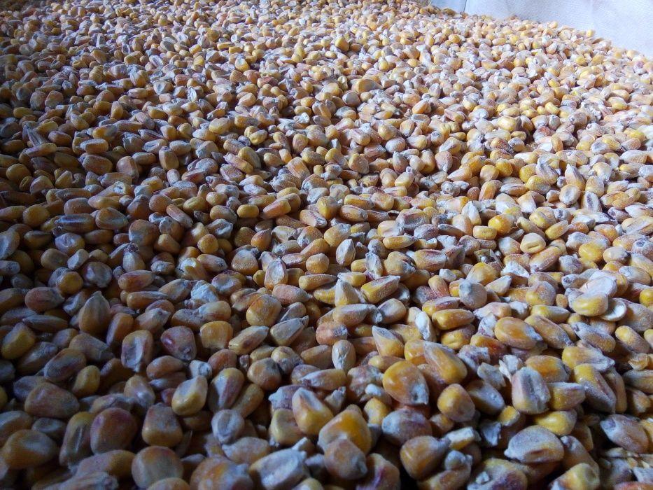 Продам зерно кукурудза Ровно - изображение 1
