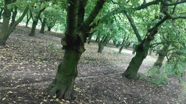Drewno,drzewa  do wyciecia